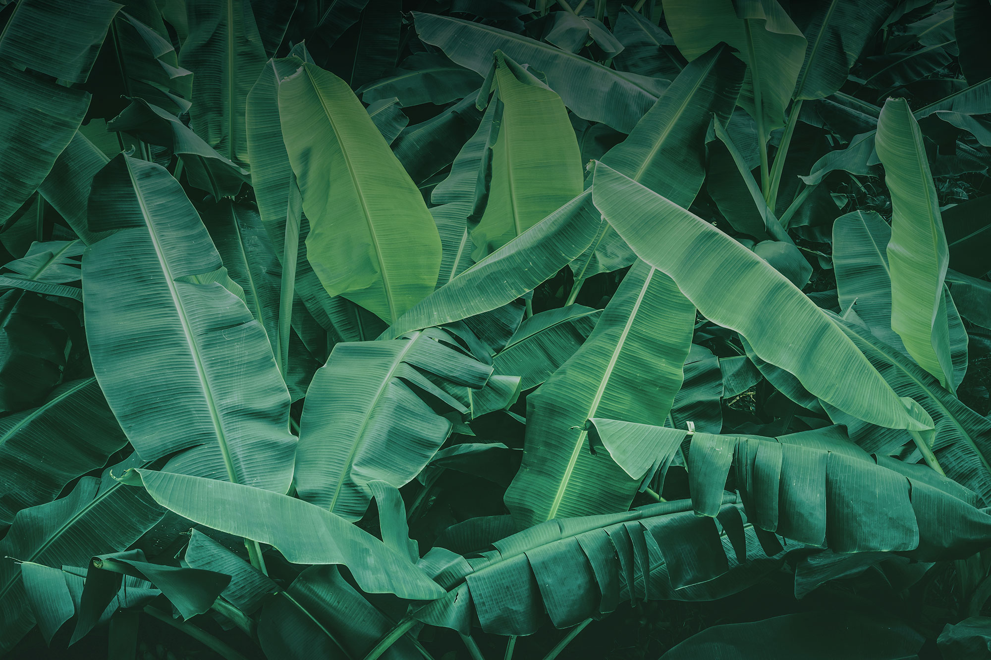 The leaves of Indonesia